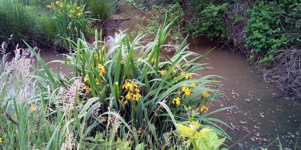 Il Monte Netto iris giallo